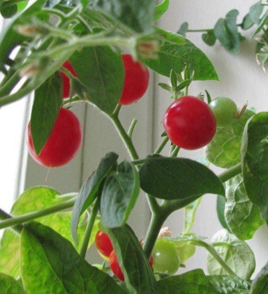 Как вырастить помидоры к маю без теплицы и без рассады...