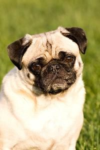 It's upsetting to see your pug in distress. A pug can start coughing for a number of reasons, ranging from kennel cough to a congenital condition that produces a distinctive cough. Most of these are treatable. If your pug starts coughing, listen to him, then take him to the vet.
