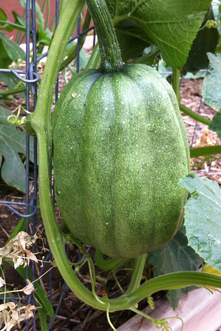 17 Best Images About Melons Squashes On Pinterest 400 x 300