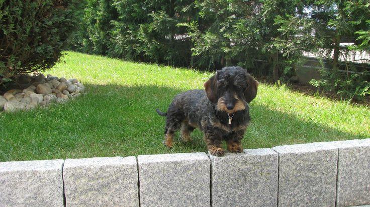 Les 50 meilleures images propos de teckel daschund sur - A poil dans son jardin ...