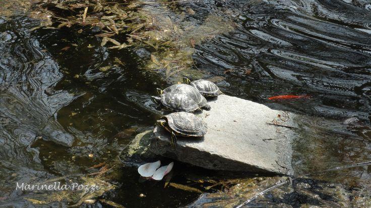 Turtles.   ALESSANDRIA, ITALY