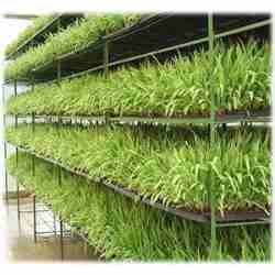 Forraje Verde Hidroponico #hidroponics #farmers