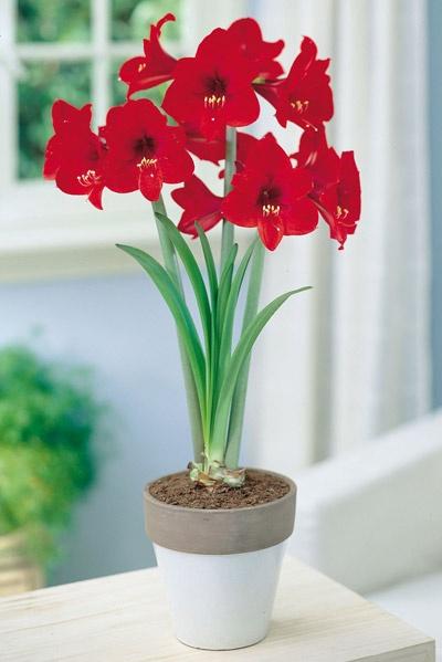 Amaryllis 'Rapido':   Enkel, intensivt röd amaryllis med många men något mindre blommor. Blir ca. 40 cm hög. Får normalt 2-3 blomstänglar. Blommar ca. 6-10 veckor efter plantering. Lökstorlek 30/32. 1 lök per förpackning.