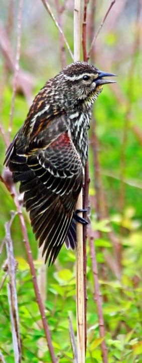 Female Red-winged Blackbird. Migrating down this past week
