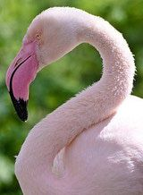 The greater flamingo is the largest flamingo species.