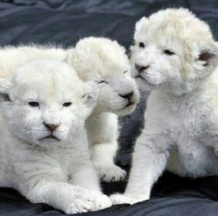 White Tiger Cubs...Cute!