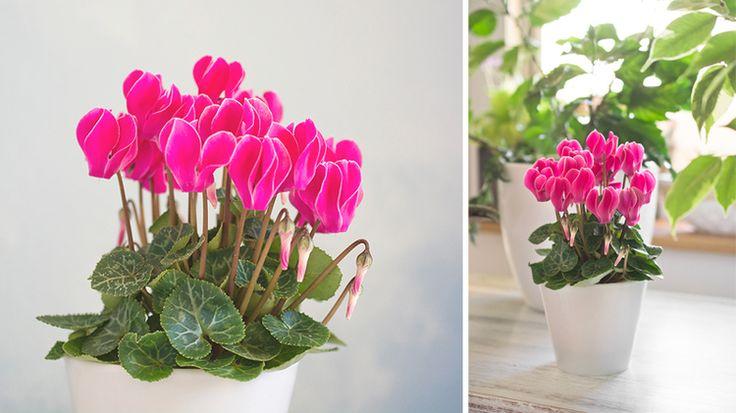 Cyklámen viete zohnať ľahko aj lacno, a predsa nepoteší, ak vaša rastlinka už niekoľko dní po nákupe stratí svoju krásu. Kde robíte chybu?