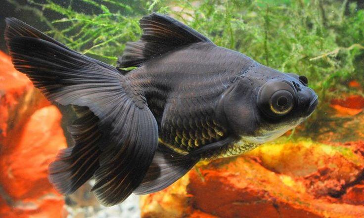 Cuidados del pez telescopio - http://www.depeces.com/cuidados-del-pez-telescopio-2.html