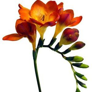 Freesia in orange, it also comes in white, purple, reddish bronze, yellow, and it is the most wonderful smelling flower in anyone's garden.