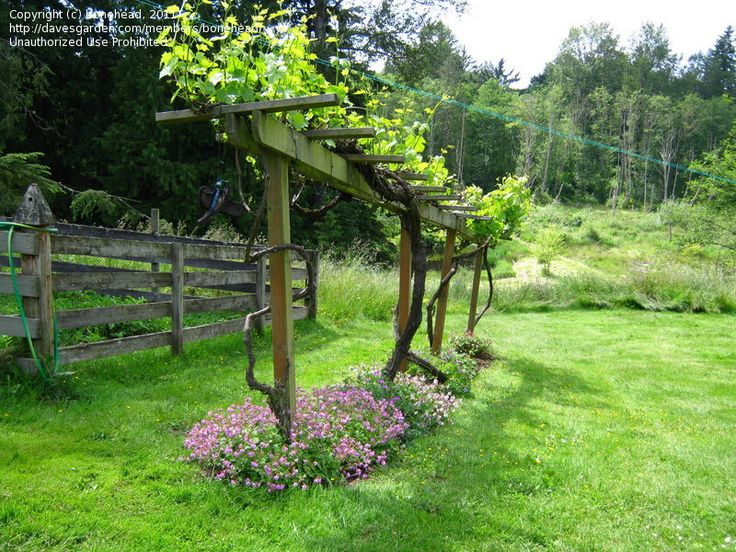 grape vines trellis