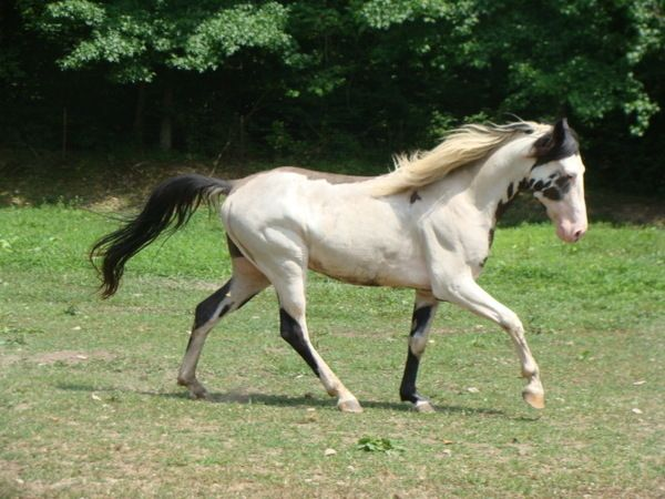 Pinto Tennessee Walking Horse Horses Painted Horses