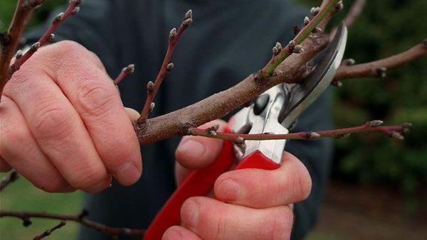 Aprende cómo podar los manzanos, ciruelos, durazneros e higueras...