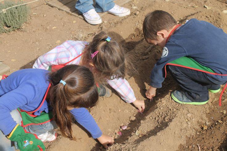 """Els alumnes de P-4 A de l'escola """"Ull de Vent"""" de la Bisbal del Penedès han plantat alls a l'hort de l'escola en lluna creixent"""