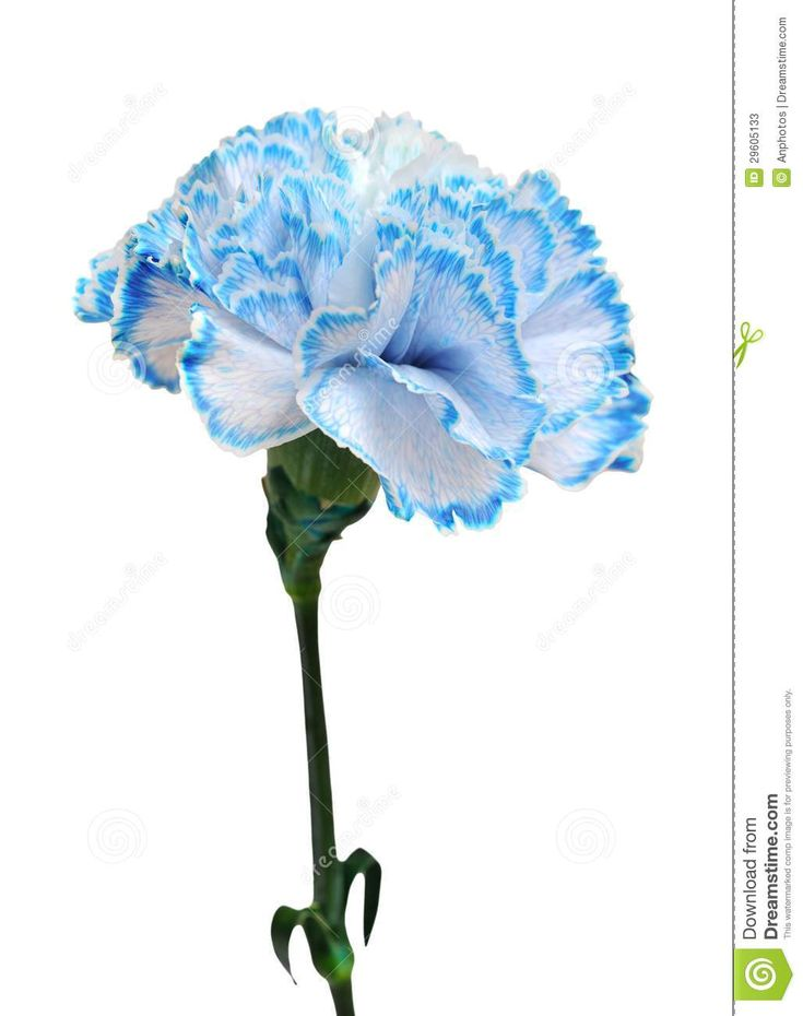 Blue-tipped Carnation (darker blue possible?)