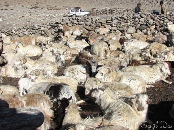 Pashmina sheep Album: Ladakh - The Forbidden Wilderness Photo Credit: Sanjib Das