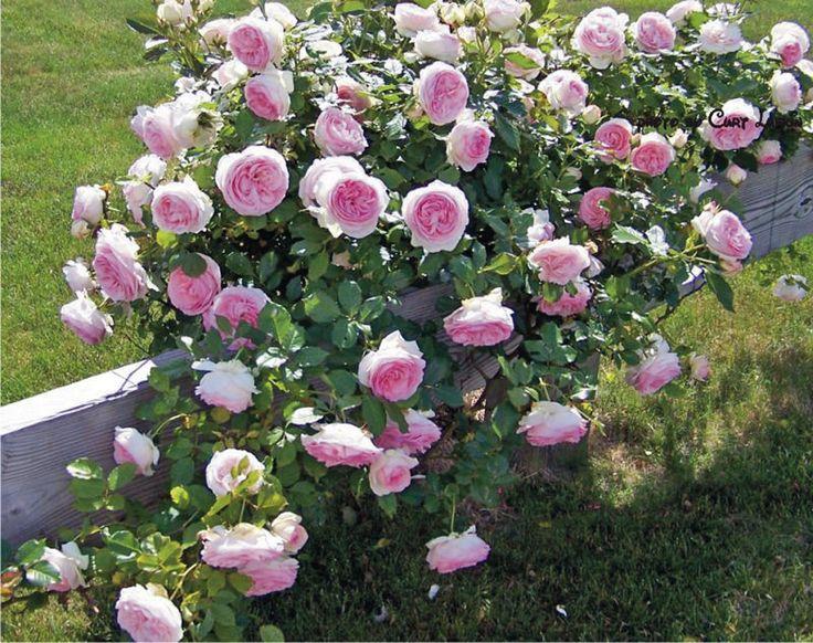 105 best images about pierre de ronsard rose eden rose. Black Bedroom Furniture Sets. Home Design Ideas