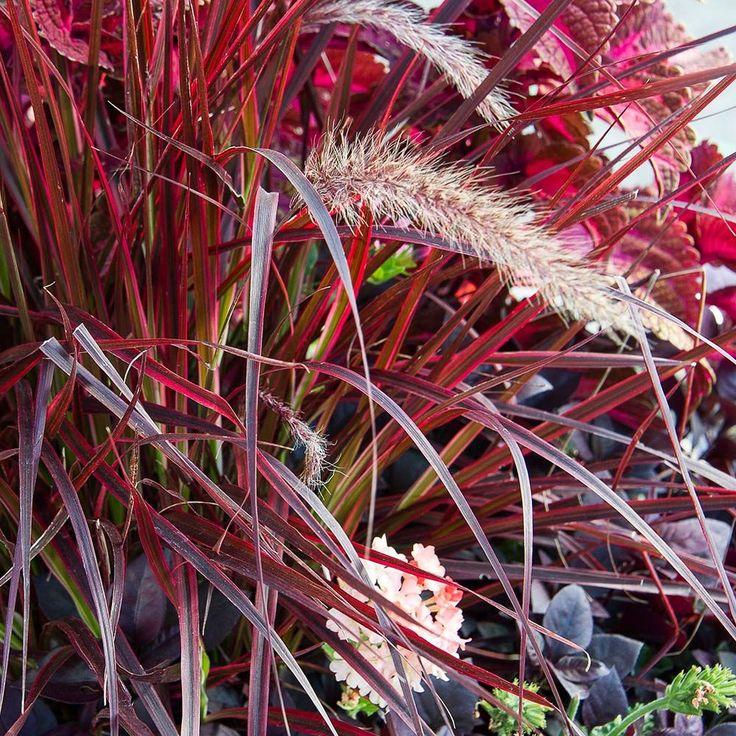 Ornamental Grass: Pennisetum setaceum 'Fireworks'