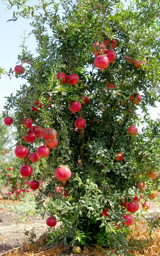 Pomegranate [Punica granatum; Family: Lythraceae] tree bearing fruits