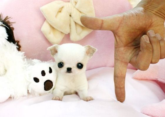 Cute teacup puppy. Where can I get one? lol..