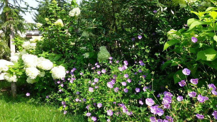 Storchschnabel Rozanne und Schneeballhortensien in voller Blüte