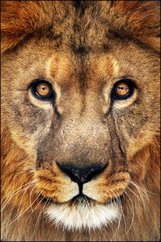 lion: Face, Big Cats, Wild Animals, Jungle, Beautiful, Creatures, Things, Lions, Eye