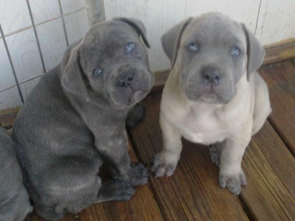cane corso pups blue and fawn Cane Corso Mastiff