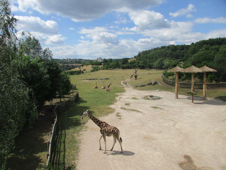 Žirafy - ZOO Praha