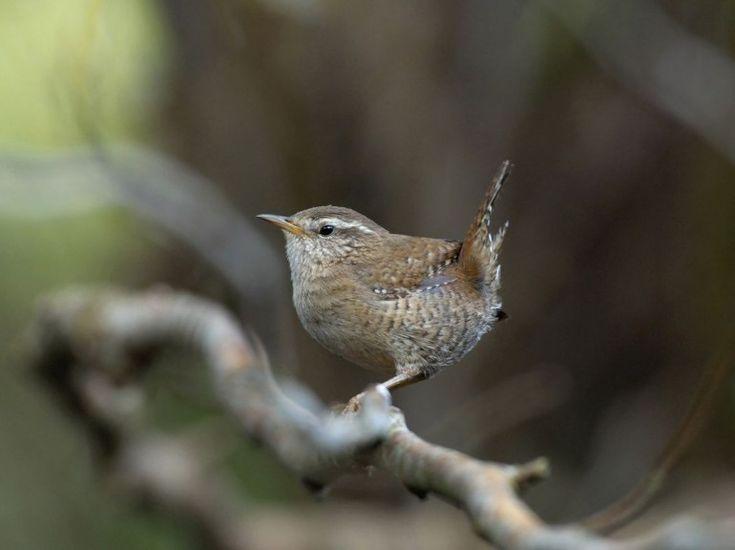 les 85 meilleures images du tableau oiseaux de nos jardins sur