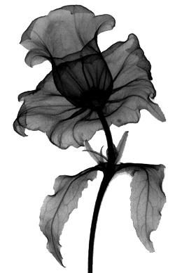 Amazing Flower Radiographs... Daffodil