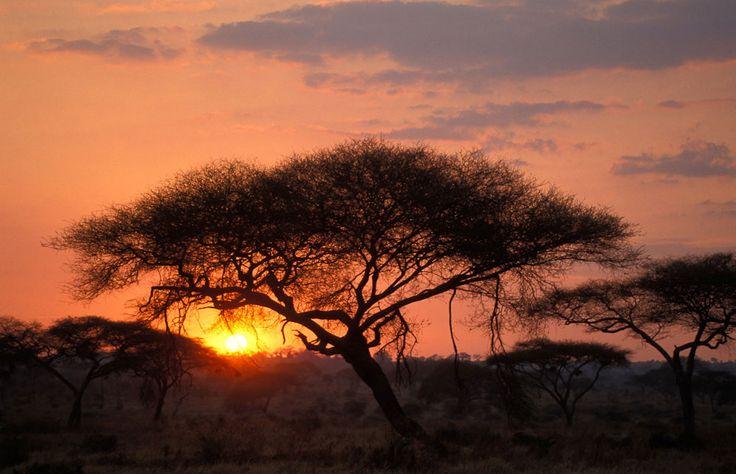 Acacia tree at sunset. Tarangire NP Photos – Images & pictures