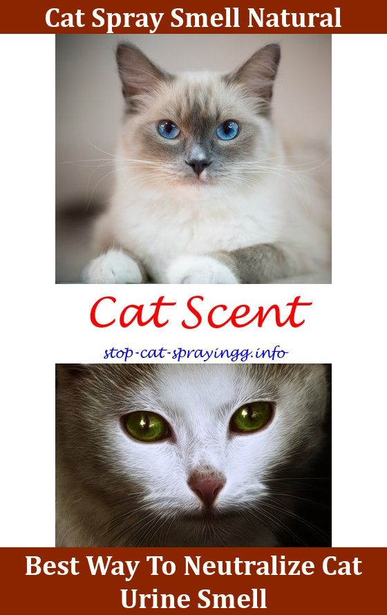 Exceptionnel Spray To Keep Cats From Peeing Cat Spray Furniture Home Remedies,repellent  For Cats Urinating Get Rid Of Cat Pee Ways To Get Rid Of Cat Urine Smell  Cat Pee ...