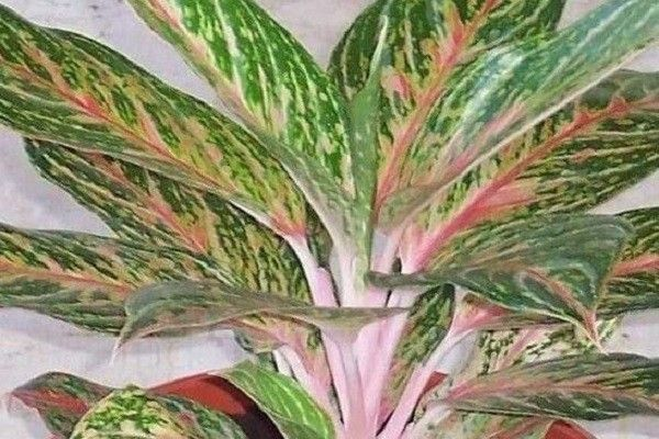 Chinese Evergreen Aglaonema Varieties Part 2 In 2020 Chinese Evergreen Chinese Evergreen Plant Orchid Plants