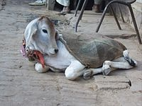 A cow resting on a street in Vrindavan, India, free to wander.  Today, in Hindu-majority countries like India and Nepal, bovine milk holds a key part of religious rituals. For some, it is customary to boil milk on a stove or lead a cow through the house as part of a housewarming ceremony. In honor of their exalted status, cows often roam free, even along (and in) busy streets in major cities such as Delhi. In some places, it is considered good luck to give one a snack, or fruit before…