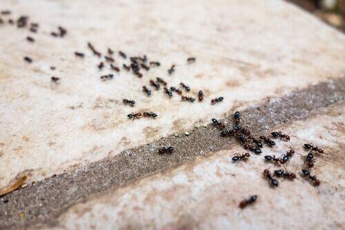In dit artikel delen we zes 100% natuurlijke middelen om mieren te bestrijden zonder jezelf en je omgeving bloot te hoeven stellen aan schadelijke stoffen.