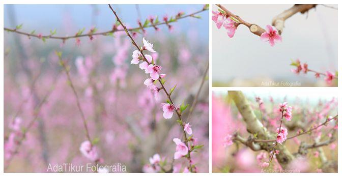 Flor rosa de melocotón (adatikur.com). Subirats - Alt Penedès.