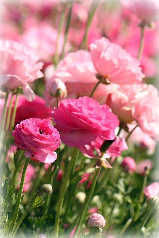 Pink Ranunculus ~ Carlsbad, CA