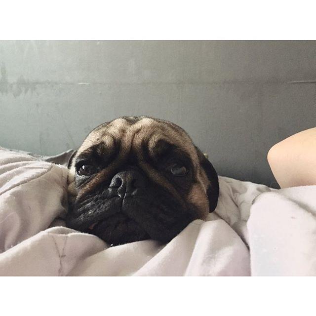 아침에 배가 무거워 눈을 떠보았다 정면샷 #아련터짐 #개아련 #레옹 #퍼그 #2살 #찡코 #강아지 #애견 #멍스타그램 #개스타그램 #멍멍 #일상 #팔로우 #좋아요 #leon #pug #puppy #pet #dog #dogstagram #petstagram #daily #レオン #パグ #犬 #犬部 #愛犬 #ペット