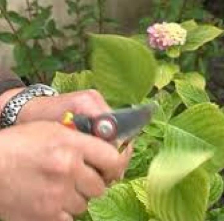 Les 25 meilleures id es de la cat gorie comment tailler les hortensias sur pinterest tailler - Comment bouturer un hortensia ...