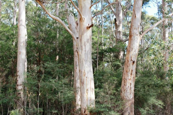 Stunning Karri Trees at Marima Cottages