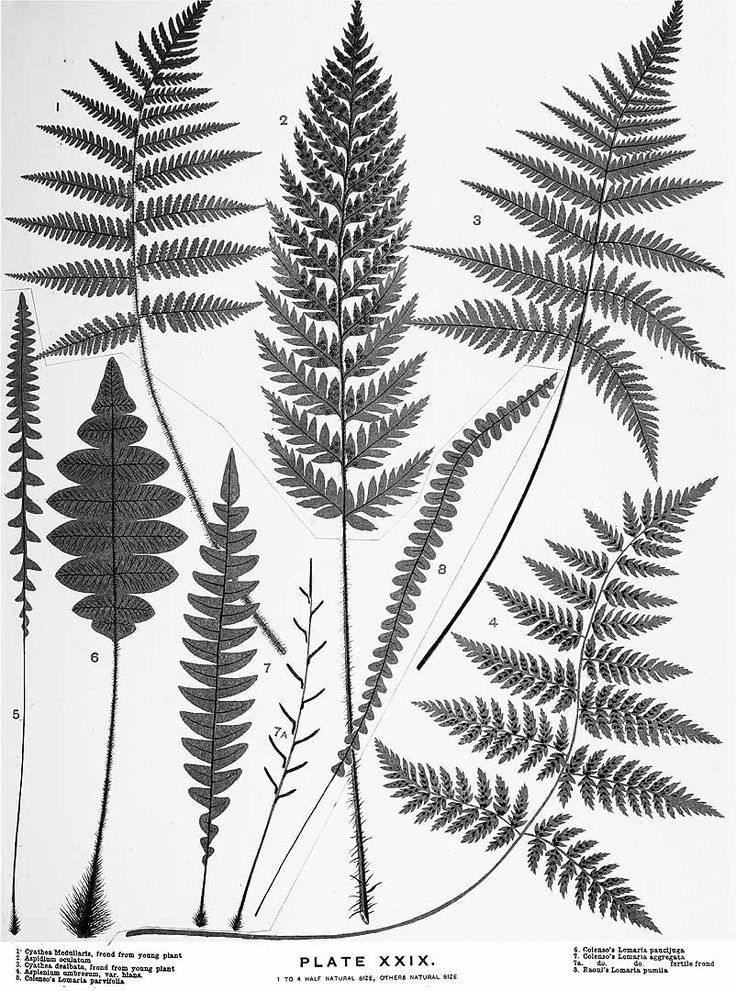 ferns drawing - Google...