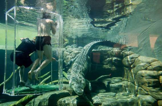"""SWIM WITH CROCODILES IN AUSTRALIA: Get no holds barred with one of the deadliest animals on #Earth at the Crocosaurus Cove in Darwin, nicknamed the """"Pen of Death."""" Drop into a walled in area that houses almost 200 crocodiles, with only a Plexiglas pen in the middle of you and them."""