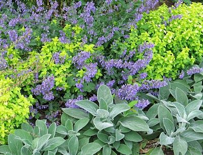 Good contrast makers here are Stachys, Origanum and Nepeta -