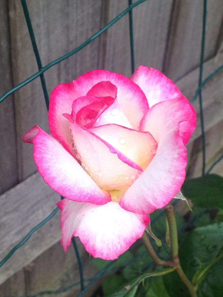 Roses: Plant Care and Collection of Varieties - Garden.org