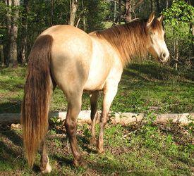Silver (buckskin) - Conley's Classic Caper   Buckskin Silver Rocky Mountain Horse mare