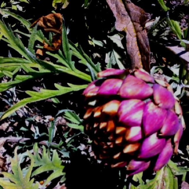 green globe artichoke planting guide