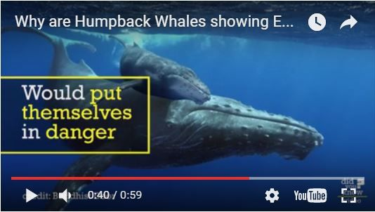 Why are #HumpbackWhales protecting seals from #Orcas ? We think it might be because they are sometimes also attacked by Orcas and might feel empathy for other species that are victims of the same predators... What do you think ? #reykjavik #iceland #killerwhale #humpbackwhale #orca #specialtours https://www.youtube.com/watch?v=55Bup-cH2yo&feature=youtu.be