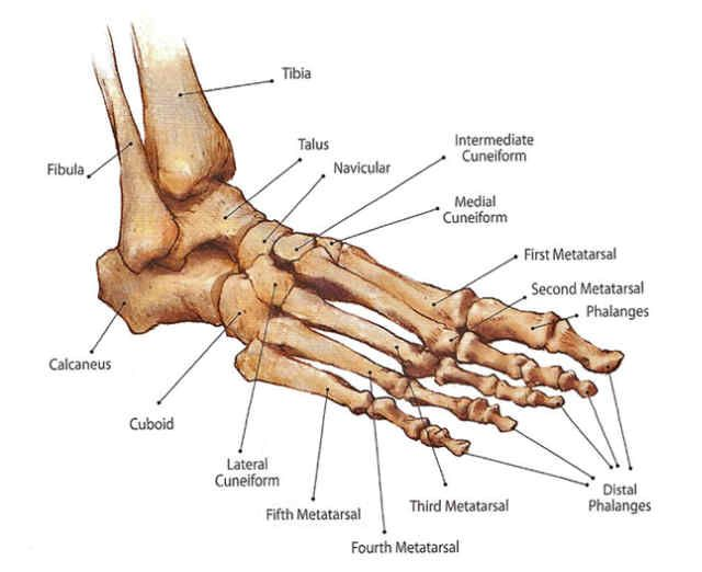 Foot Anatomy - Ansonia, CT Podiatrist