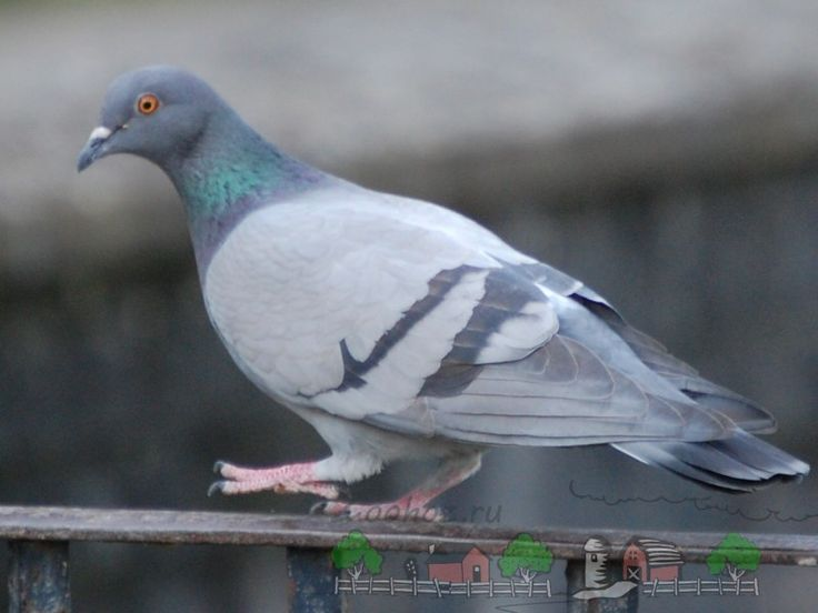 Photo rock pigeon on a handrail