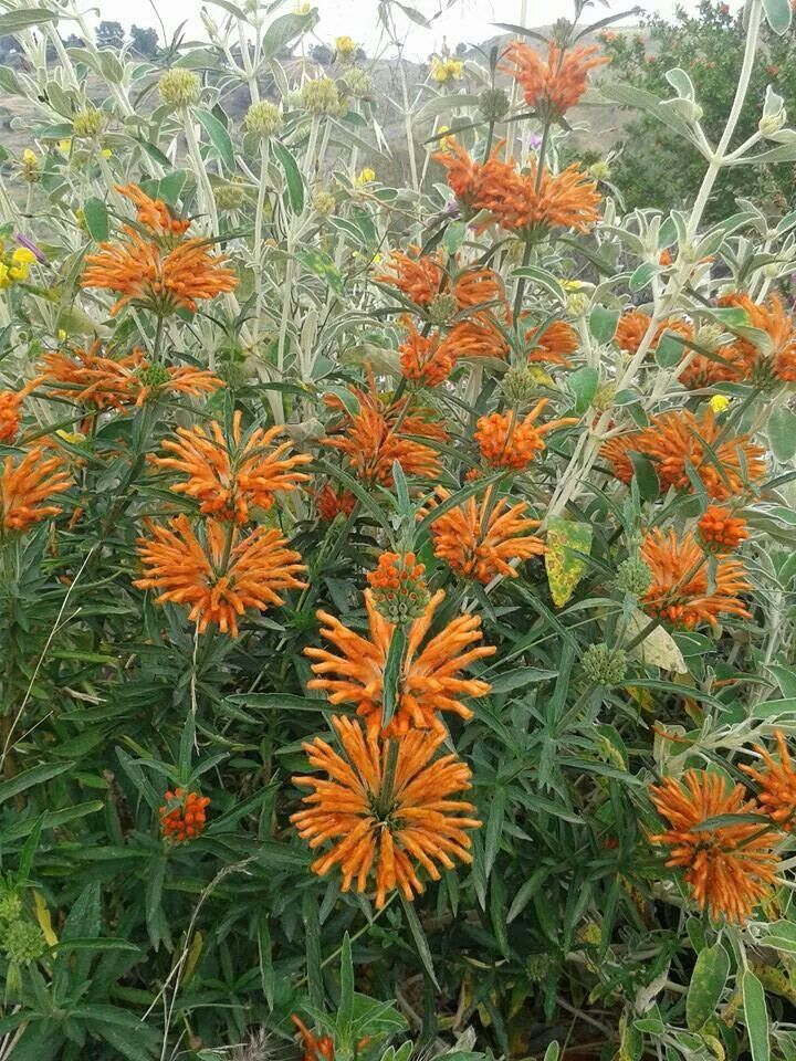 45 best the color orange images on pinterest orange flowers plants and flower gardening - Mediterranean garden plants colors and scents ...