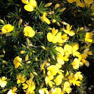 Pultenaea pedunculata with golden flowers